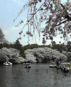 井の頭公園の桜です